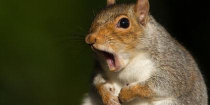 squirrelweb