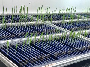 Early stage wheat root phenotyping