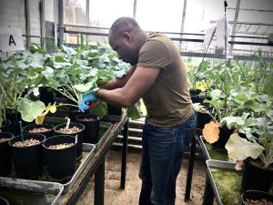 Assessing impact of phosphite in oilseed rape in a growth room trial