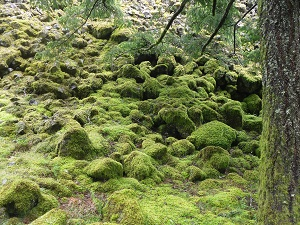 A photograph of moss covered rocks and boulders along the forest floor