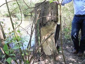 A photograph of a tree trunk after beaver damage, Johnson Creek, Portland, Oregon