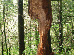 A photograph of a gnawed tree trunk, Hmilton Mountain trail, Washington State, US