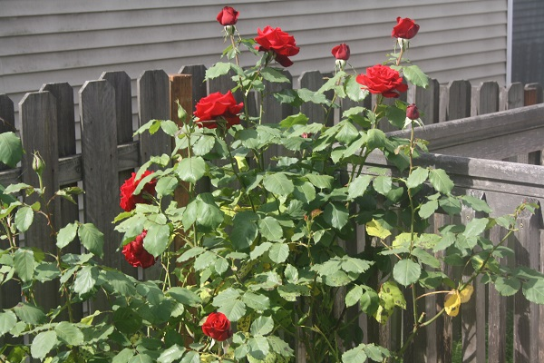 A photograph of Portland roses