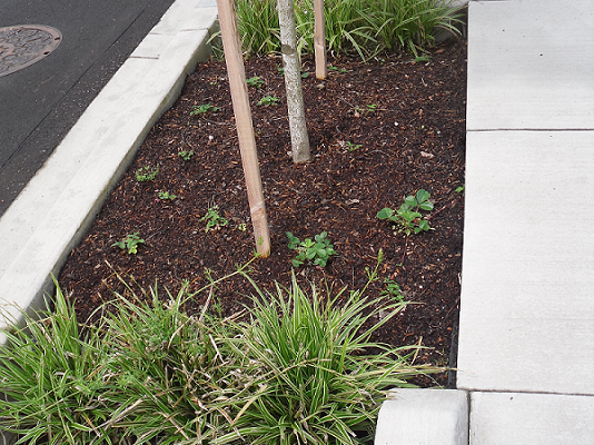 A photograph of a bioswale in Portland, Oregon (recently planter).