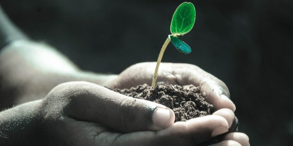 Hands cupping seedling in soil