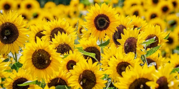 Lots of bright sunflowers