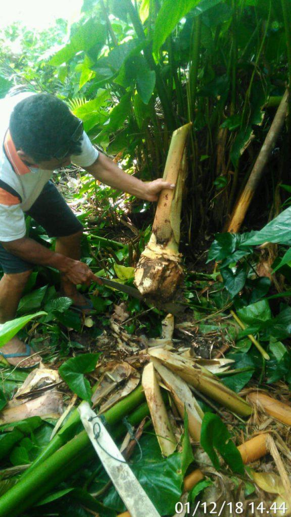 Giant Swamp Taro: plant for the future?