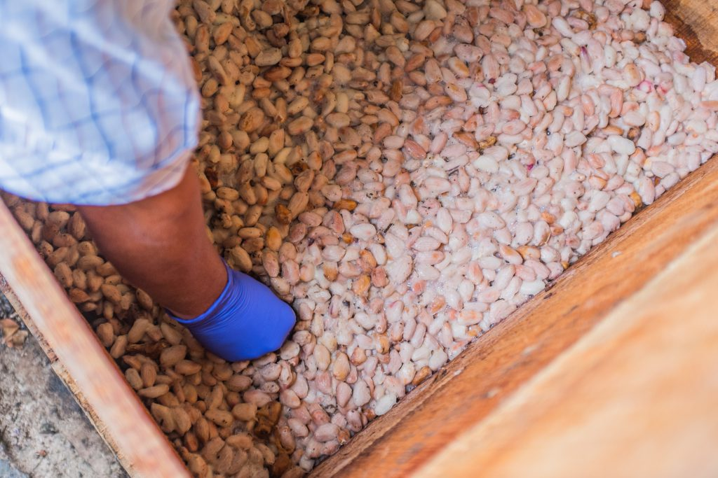 A box filled with fermenting cocoa beans