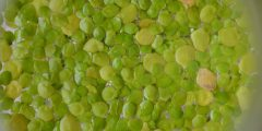 Close up shot of duckweeds growing. Lots of greens, yellows and orange colours.