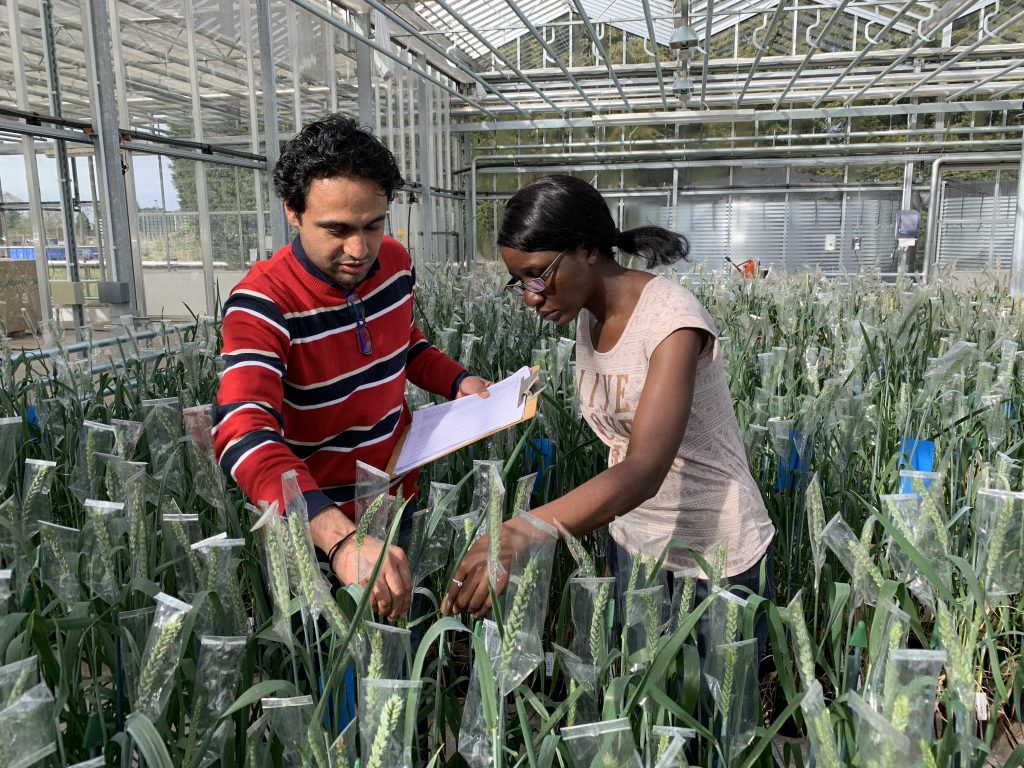 Veronica examining wheat in the glasshouse