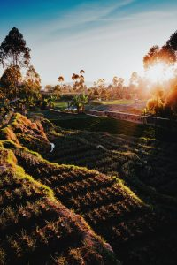 Rice paddy and ray of sun