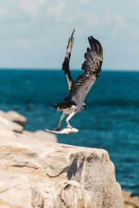Bird with fish in claws by Justin Clark on Unsplash