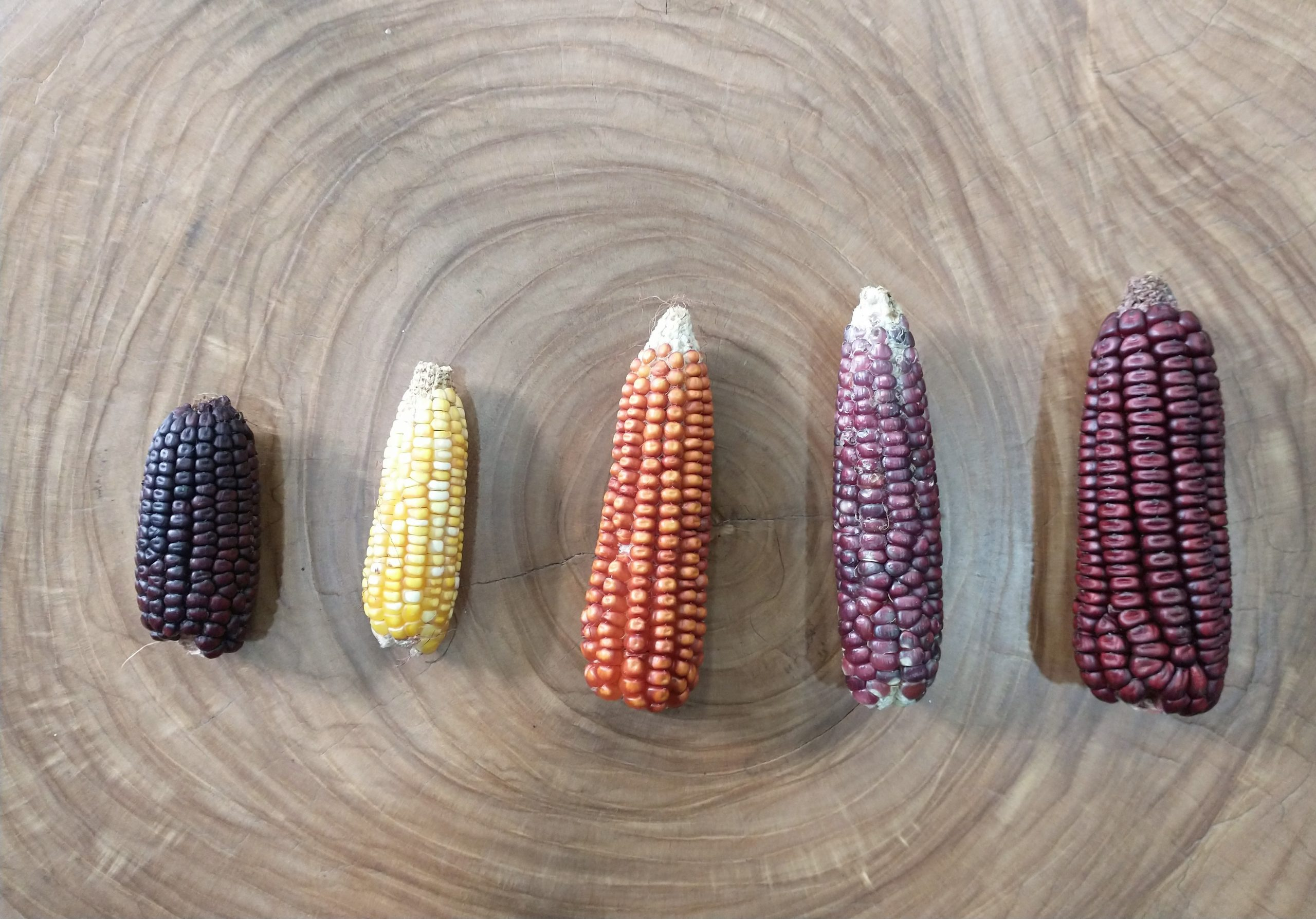 5 varieties of Gallito (little rooster) maize