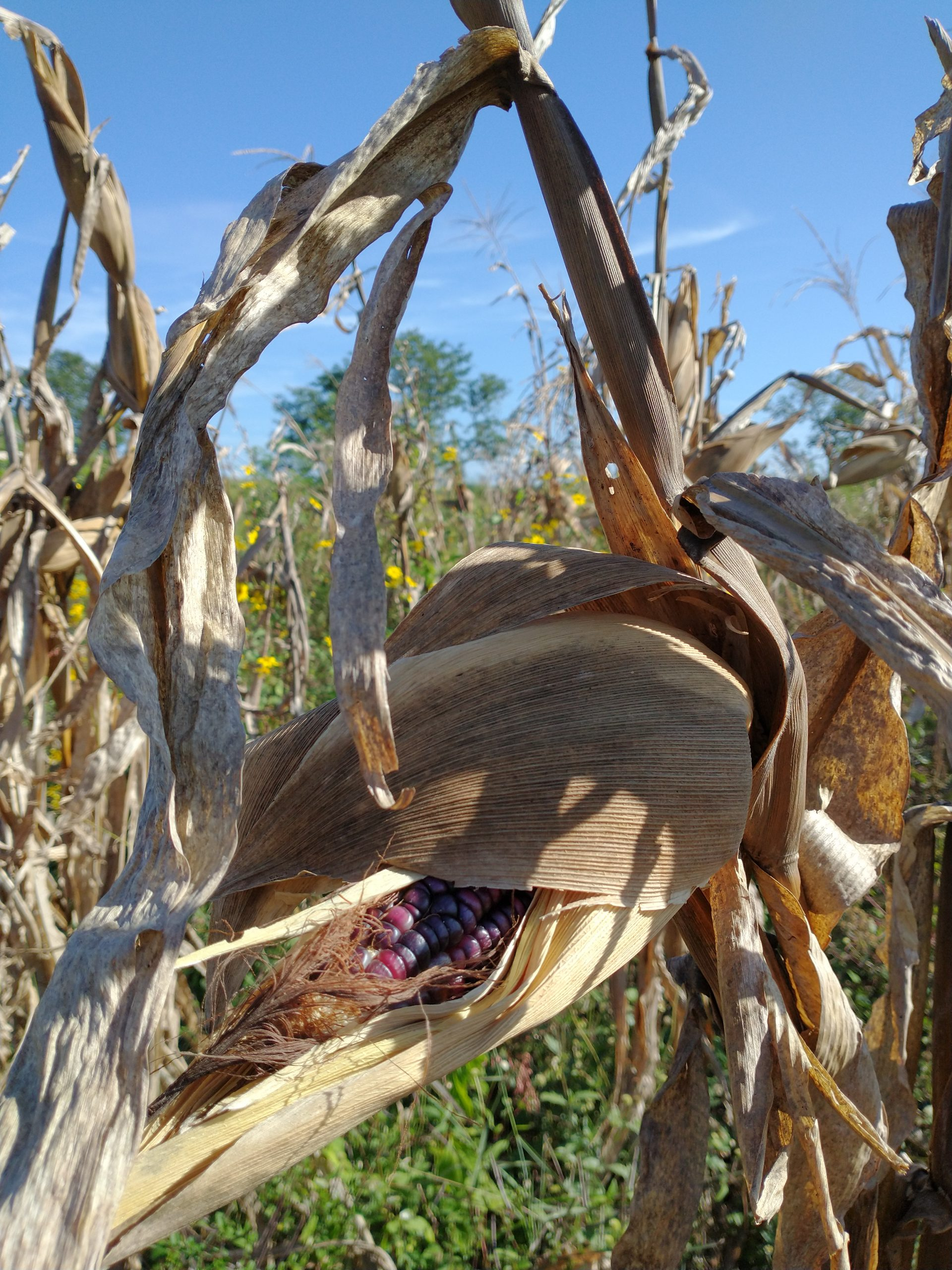 Local purple maize variety called Eh-Jub cultivated and ready to be harvested in a milpa in Maxcanu community in Western Yucatan - by Karla G. Hernandez-Aguilar