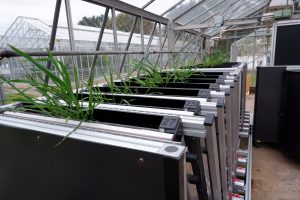 Racks of rhizotrons with plants growing out top