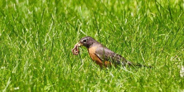 Bird with worm in grass by Mathew Schwartz on Unsplash
