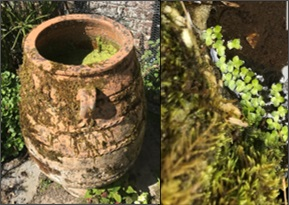 The image shows duckweed growing in a pot and on a pond