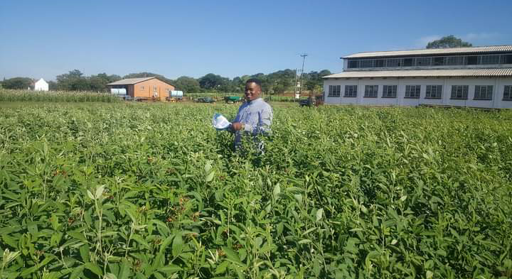 A researcher standing in a field of green grass pea