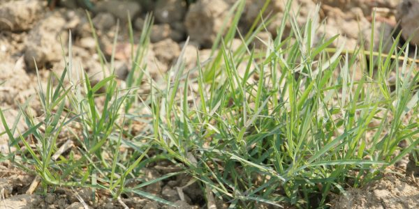 An example of grass pea growing in dry soil