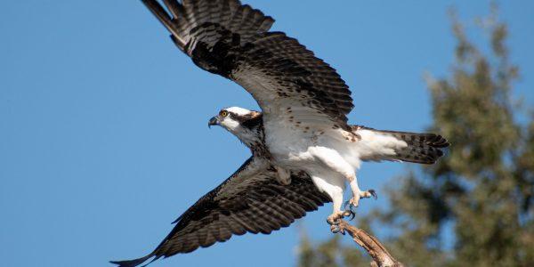 Osprey taking off by Elisa Stone on Unsplash