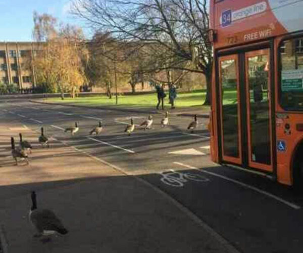Bus and geese