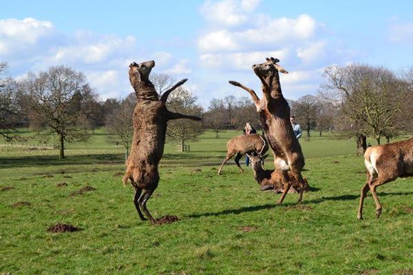 Deer in Wollaton Park