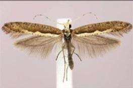 Diamondback Moth (Wikimedia commons)