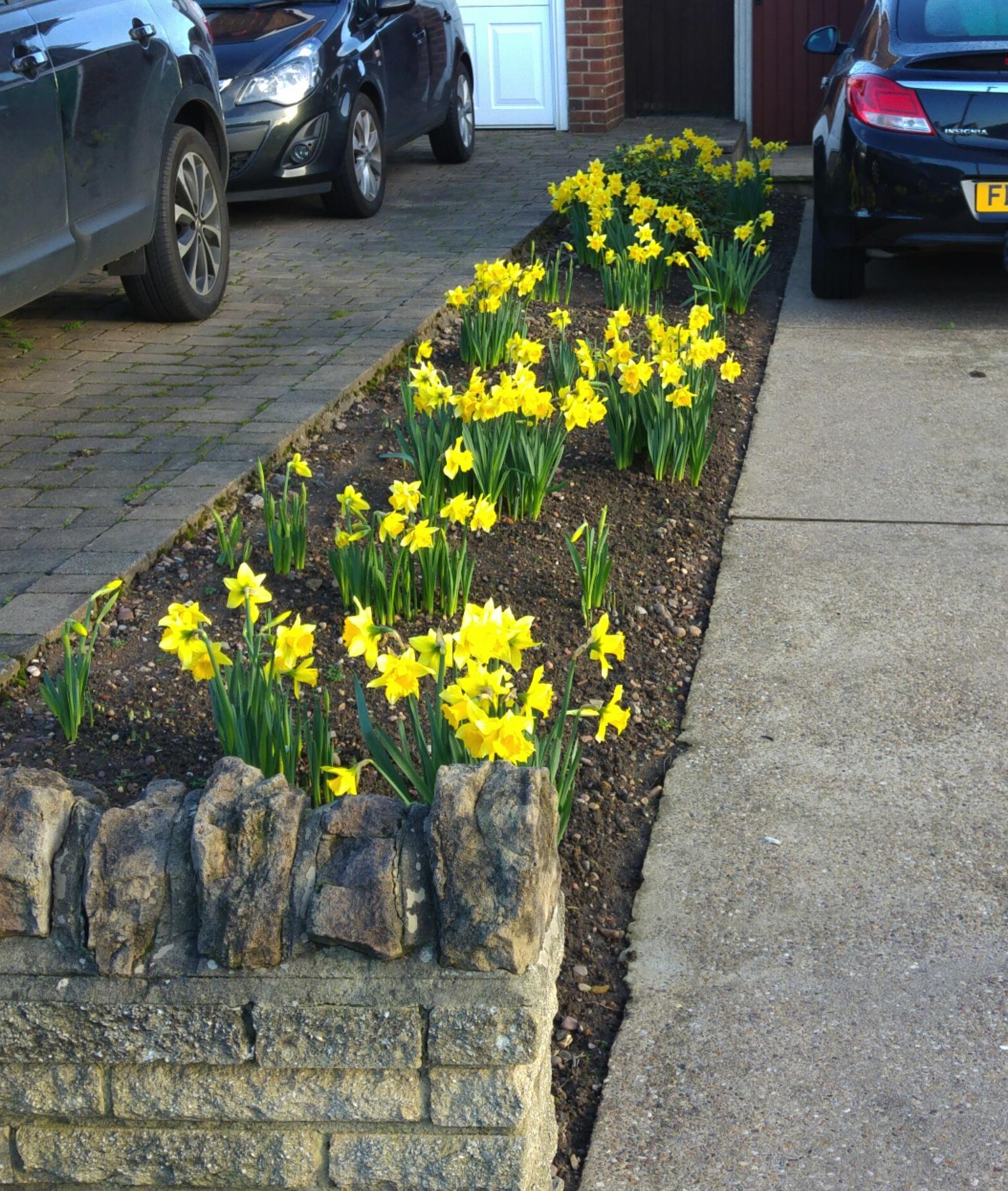 Daffodils in Wollaton