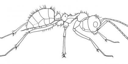 800px-Sphecomyrma_freyi_worker_no_1_drawing_(Wilson,_Carpenter_and_Brown_1967)