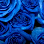 Blue Roses (downloded from Google 13 Jun 2013, labeled as free to reuse). Original from http://bit.ly/195ryHU