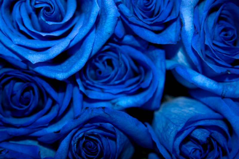 Blue Roses (downloded from Google 13 Jun 2013, labeled as free to reuse)