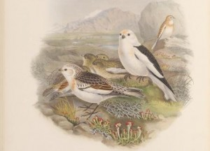 Illustration of two adult snow buntings with their young