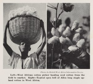Black and white photo of a male cotton picker with a full basket on his head, and a close-up photo of the cotton plant
