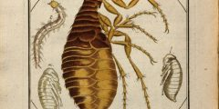 Colour drawing of a flea, surrounded by detailed close-ups of parts of different species to enable easier identification
