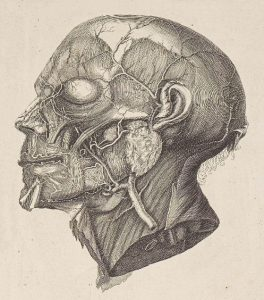 Pencil drawing of the muscles and blood vessels of the face and neck