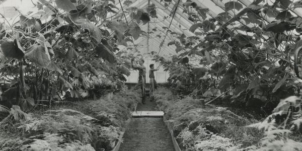 Long path in the greenhouse between tall cucumber with two male students tending them