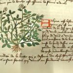 Extract from a page showing a plant with white flowers and shallow roots, next to a paragraph of text in French that explains its medicinal properties