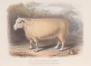 Coloured illustration of a ram