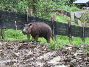 Sumatran rhino wide shot