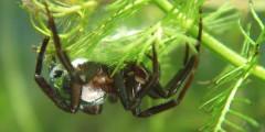 Argyroneta aquatica, image courtesy of Norbert Schuller Baupi