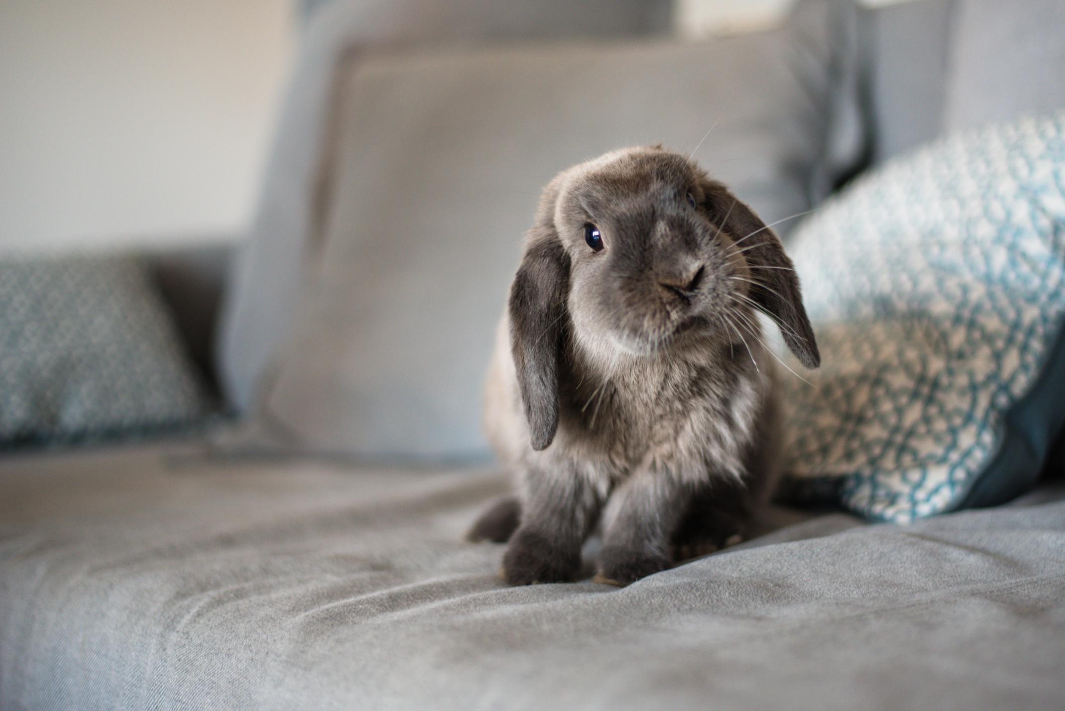 cute bunny on the sofa the news room