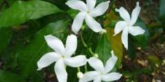 Tabernaemontana corymbosa