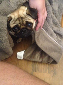 What will happen when you tell a pug off for pestering when you're trying to revise