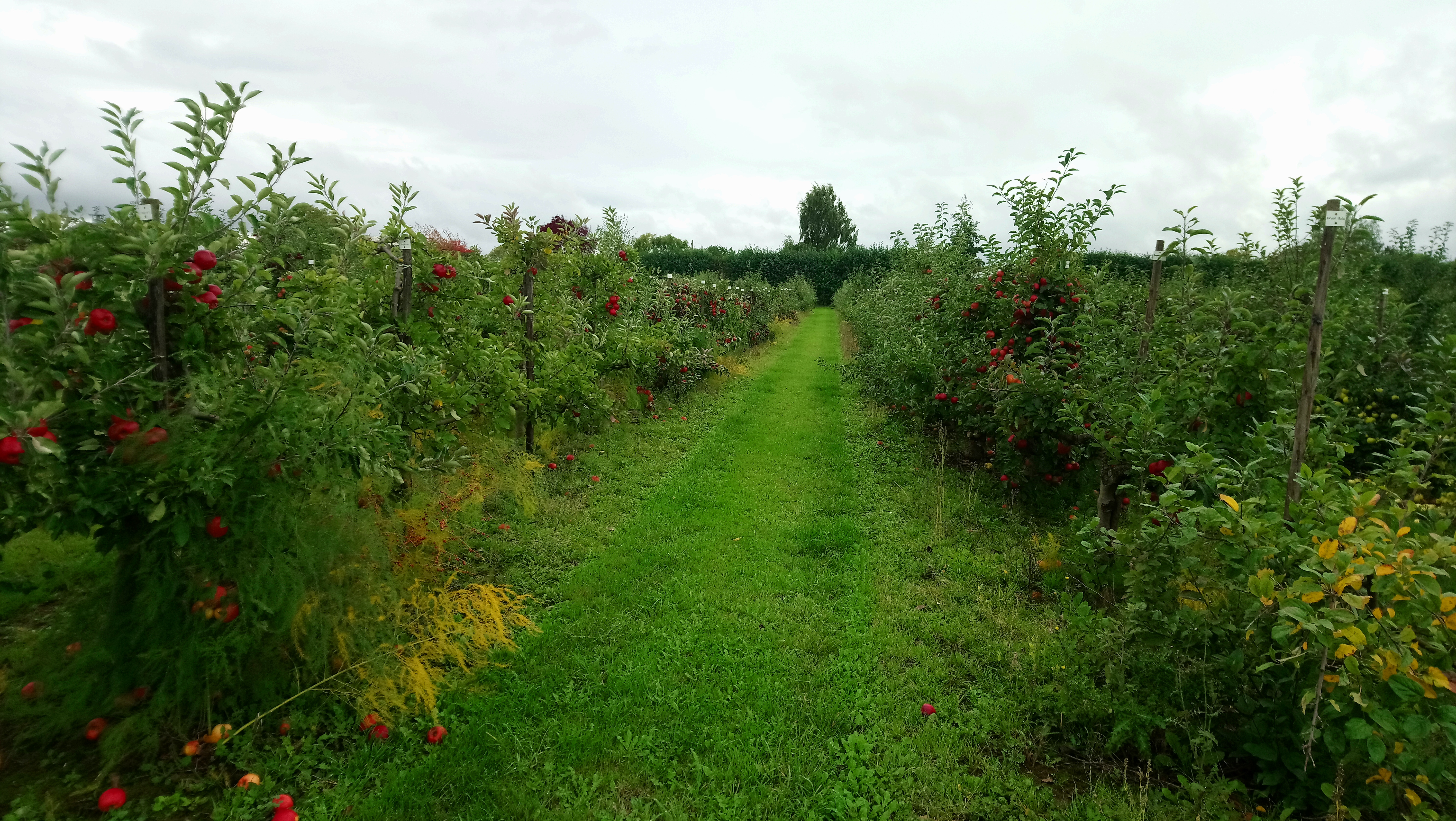 Apple orchards at the National Institute of Agricultural Botany and East Malling Research