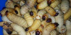 mealworm larvae