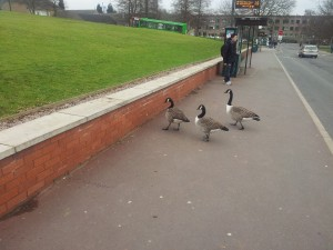 The ducks that stop traffic on campus