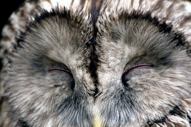Owl sleeping in daylight