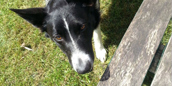 The collie that wanted to play fetch.