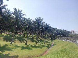 Oil palms at UNMC