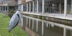 Heron waiting for fish on Jubilee Campus
